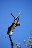 Zorro de vuelo Foto de archivo