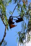 Zorro de vuelo Foto de archivo libre de regalías