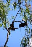 Zorro de vuelo Fotos de archivo