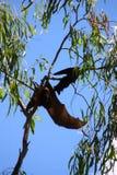 Zorro de vuelo Imagen de archivo libre de regalías