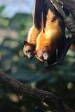 Zorro de vuelo Fotos de archivo libres de regalías
