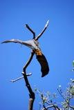 Zorro de vuelo en Sydney Fotografía de archivo