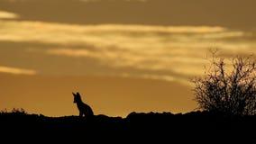 Zorro del cabo silueteado en la salida del sol almacen de video
