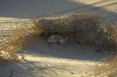 Zorro del desierto en el ` Al Khali 2 de la frotación Imagen de archivo libre de regalías