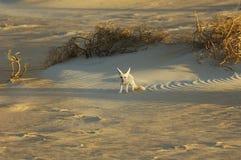 Zorro del desierto en el ` Al Khali de la frotación Imágenes de archivo libres de regalías