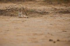 Zorro del desierto en poco rann del kutch Fotografía de archivo