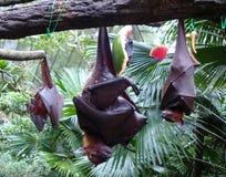Zorro fluing malayo y x28; vampyrus& x29 del pteropus; foto de archivo