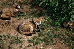 zorro Fox rojo que duerme en la hierba en luz del sol de la tarde en un día de verano Imagenes de archivo