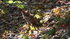 Zorro hermoso del mamífero en bosque del otoño almacen de video