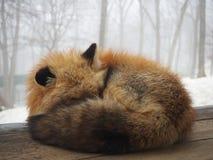 Zorro mullido so?oliento, pueblo del Fox de Miyagi Zao, sensai - imagen fotografía de archivo