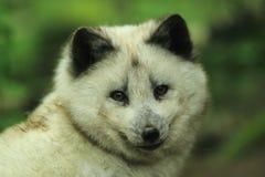 Zorro polar Imagenes de archivo
