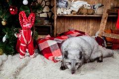Zorro polar o ártico, días de fiesta, la Navidad, Año Nuevo Imágenes de archivo libres de regalías