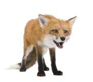 Zorro rojo (4 años) - vulpes del Vulpes Imagen de archivo