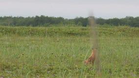 Zorro rojo con los cachorros almacen de video