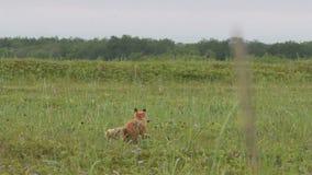 Zorro rojo con los cachorros almacen de metraje de vídeo