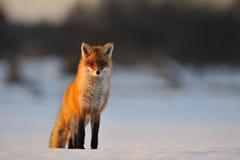 Zorro rojo en invierno Foto de archivo libre de regalías