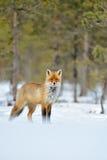 Zorro rojo en invierno Imagen de archivo libre de regalías