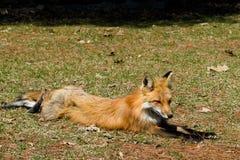 Zorro rojo en la hierba Fotografía de archivo