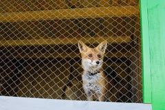Zorro rojo en la jaula del parque zoológico Fotografía de archivo