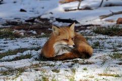 Zorro rojo en la nieve Foto de archivo