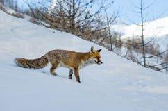Zorro rojo en la nieve Fotos de archivo libres de regalías
