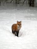 Zorro rojo en nieve Imagen de archivo libre de regalías