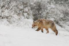 Zorro rojo en un landschap del invierno, Imagenes de archivo