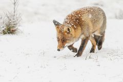 Zorro rojo en un landschap del invierno, Fotografía de archivo libre de regalías