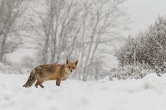 Zorro rojo en un landschap del invierno, Fotos de archivo