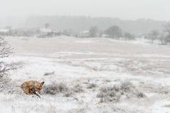Zorro rojo en un landschap del invierno, Imagen de archivo libre de regalías
