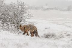 Zorro rojo en un landschap del invierno, Fotos de archivo libres de regalías