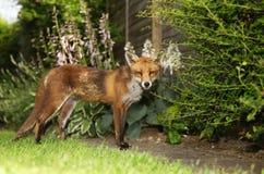 Zorro rojo que se coloca en el jardín con las flores Imágenes de archivo libres de regalías