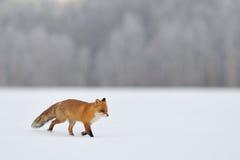 Zorro rojo que se ejecuta en invierno imágenes de archivo libres de regalías