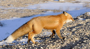 Zorro rojo, vulpes del Vulpes en un invierno Fotos de archivo