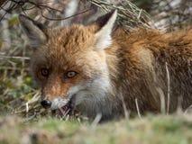 Zorro rojo (vulpes del Vulpes) ocultado Imagen de archivo