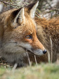 Zorro rojo (vulpes del Vulpes) ocultado Fotos de archivo libres de regalías