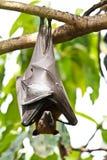 Zorros de vuelo Fotos de archivo