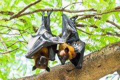 Zorros de vuelo de los pares Fotografía de archivo