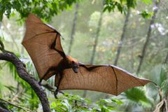 Zorros de vuelo en el parque zoológico de Singapur fotos de archivo