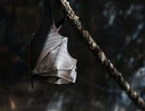 Zorros de vuelo en el salvaje Foto de archivo