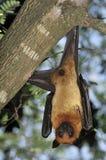 Zorros de vuelo en Tailandia Foto de archivo libre de regalías