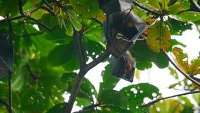 Zorros de vuelo que cuelgan en una rama de árbol y que se lavan para arriba almacen de video