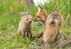Zorros rojos cariñosos. Parque nacional de Yellowstone Imagenes de archivo