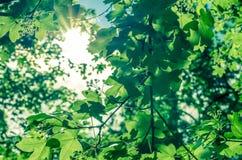 zostaw światła słonecznego green zdjęcie stock