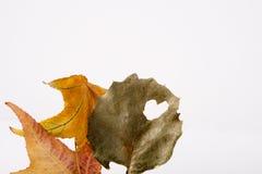zostaw barwiąca klonów jesieni Fotografia Royalty Free