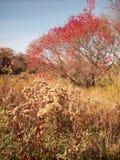 zostaw czerwonego drzewa Obrazy Royalty Free
