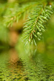 zostaw futerkowego gałęzi drzewa Zdjęcie Royalty Free