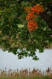 zostaw klonowego czerwonego drzewa Fotografia Royalty Free