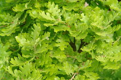 zostaw oak Fotografia Royalty Free