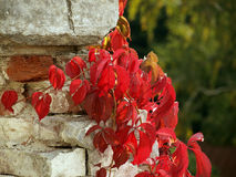 zostaw winogron czerwonych biała ściana Zdjęcie Stock